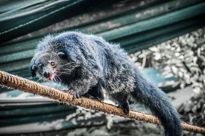 Binturong crawling on the rope. Animal Binturong Wool Hairiness Lays Paw Nose Tired Beast Wild Ear royalty free stock photography