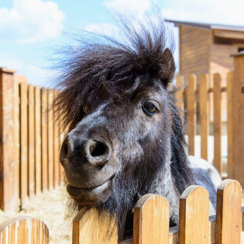 Animal black pony. Farm animal black pony behind a fence looking at the camera stock photo
