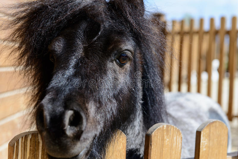Animal black pony. Farm animal black pony behind a fence looking at the camera stock images