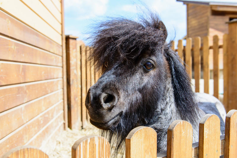 Animal black pony. Farm animal black pony behind a fence looking at the camera royalty free stock photography