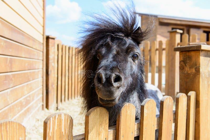 Animal black pony. Farm animal black pony behind a fence looking at the camera stock photos