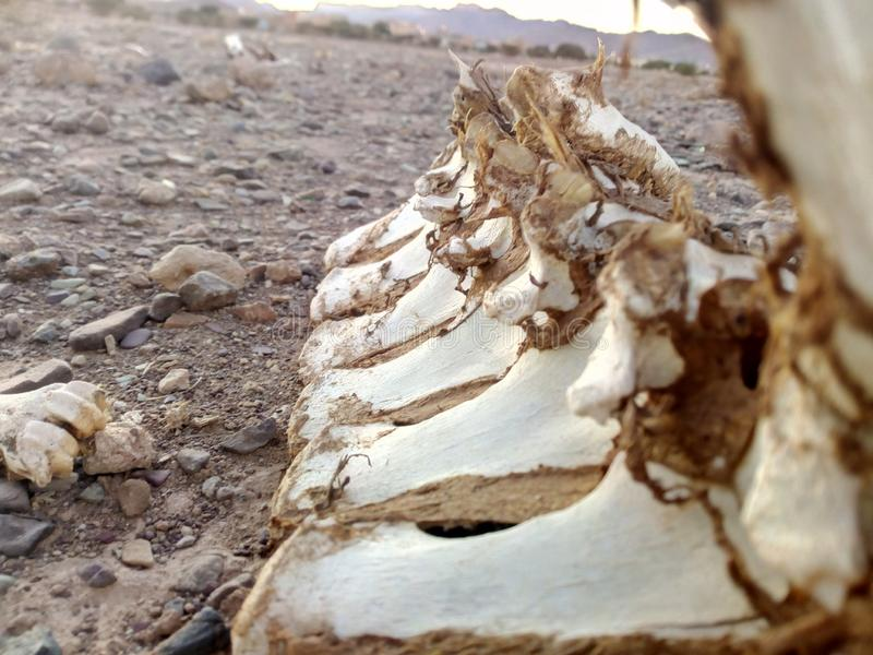 Animal bone remains in the desert. The ather nature face stock image