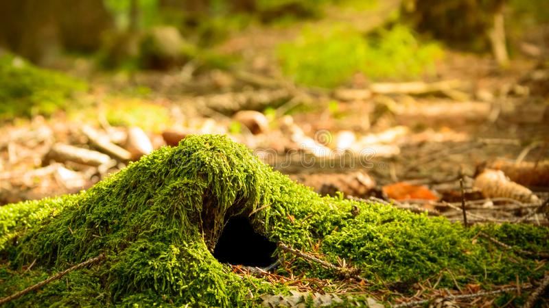 An animal burrow in the forest covered with moss, a warm sunny day. Poland, An animal burrow in the forest covered with moss, a warm sunny day europe hole litter royalty free stock image