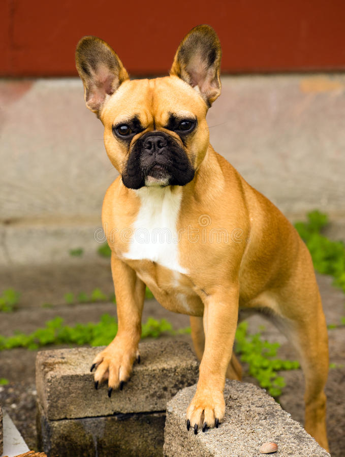 Animal canino Frenchie do cão da raça pura do buldogue francês fotografia de stock royalty free