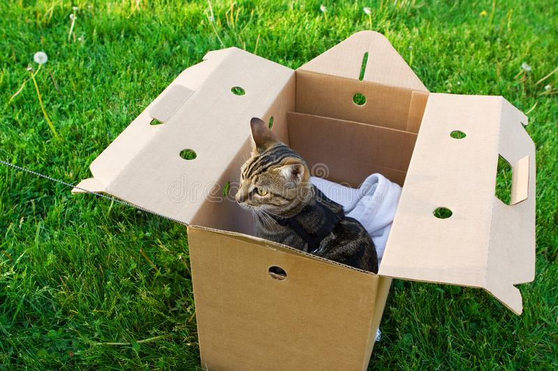 Animal cat kitten going for a walk outside on summer day on leash. Beautiful tabby striped cat with green yellow eyes sitting in box on grass outside. Animal stock photo