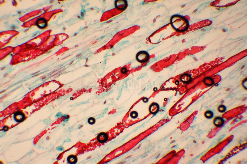 Animal cell. Photo of the microorganism increased in 1000 in the microscope royalty free stock photo