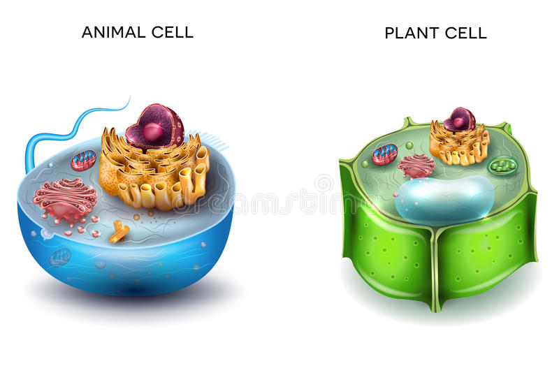 Animal Cell and Plant Cell. Structure, cross section detailed colorful anatomy stock illustration