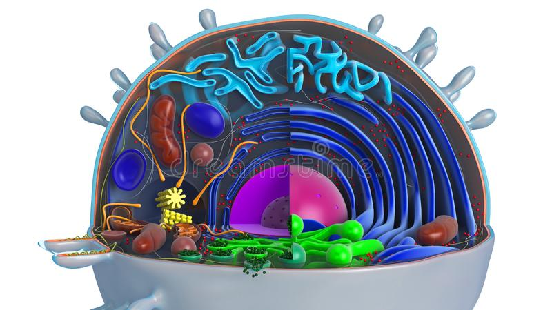 Animal cell in section, multi-colored. Close view. 3D rendering royalty free illustration