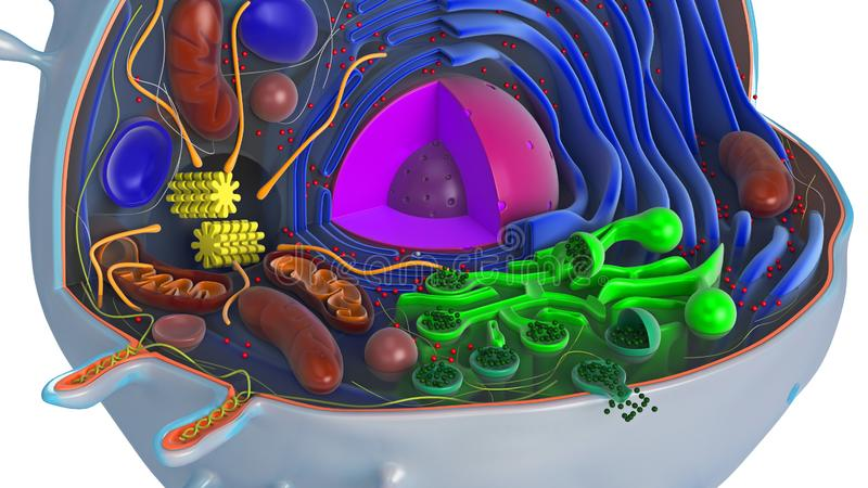 Animal cell in section, multi-colored, close view. Animal cell in section, multi-colored science biology, close view. 3D rendering vector illustration