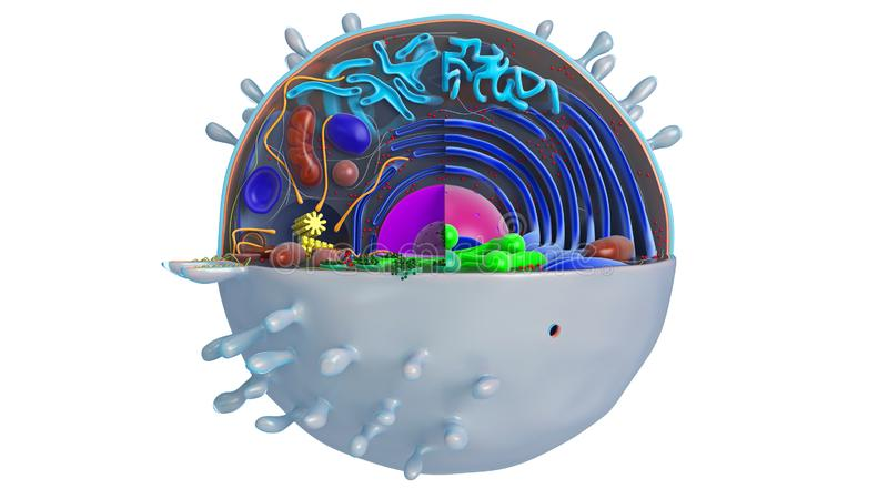 Animal cell in section, multi-colored, front view. 3D rendering stock illustration