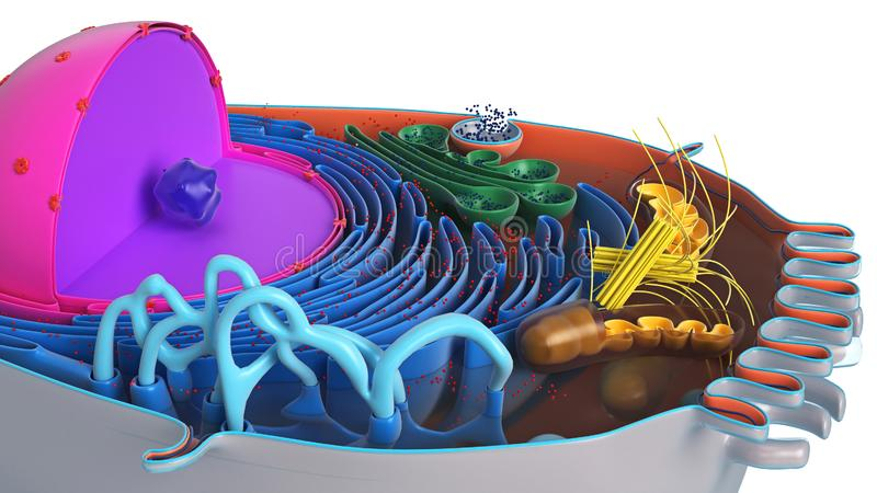 Animal cell in section, multi-colored. Science biology, close view. 3D rendering royalty free illustration