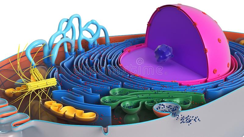 Animal cell in section, multi-colored. Science biology, close view. 3D rendering vector illustration