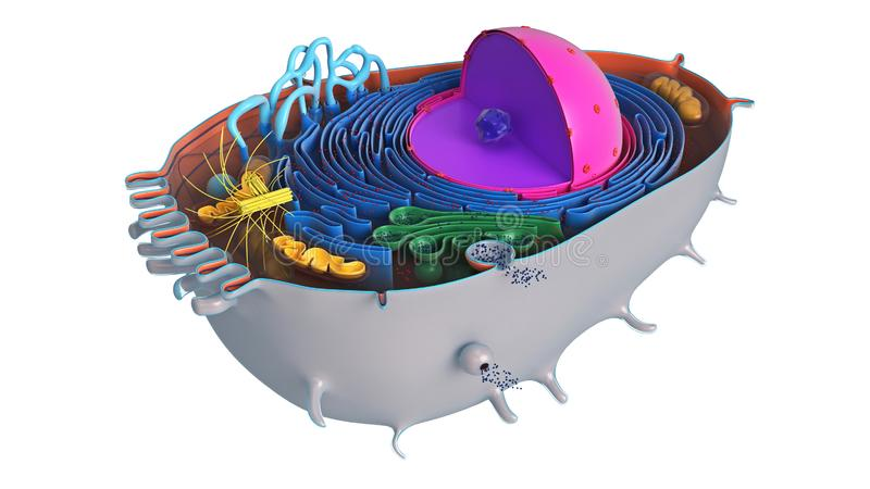 Animal cell in section, multi-colored. Science biology. 3D rendering royalty free illustration