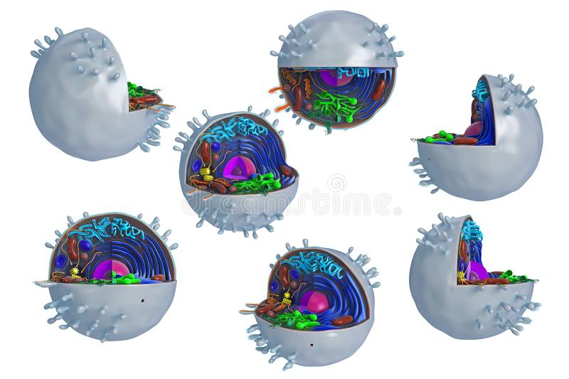 Animal cell in section, multi-colored, set. Animal cell in section, multi-colored science biology, set. 3D rendering royalty free illustration