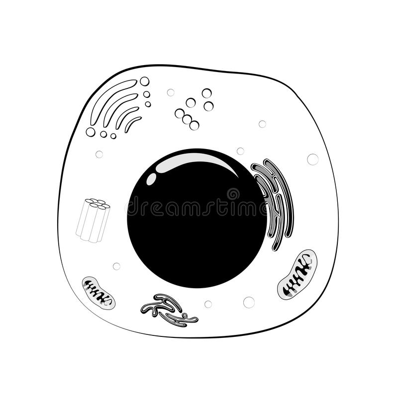 Animal cell structure. black and white Vector. Animal cell structure with: nucleus, mitochondria, membrane, centrosome, ribosome, smooth and rough endoplasmic royalty free illustration