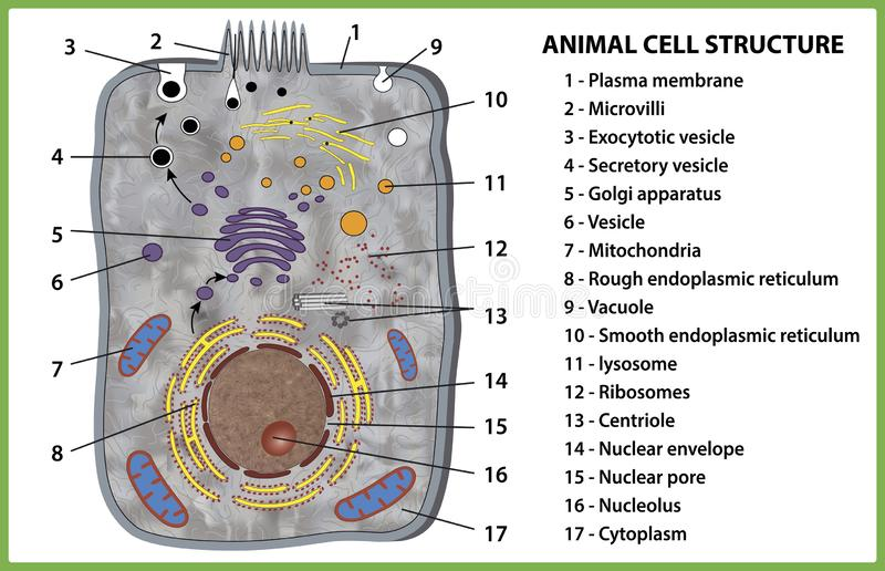 Animal cell structure on white background - vector illustration. stock illustration