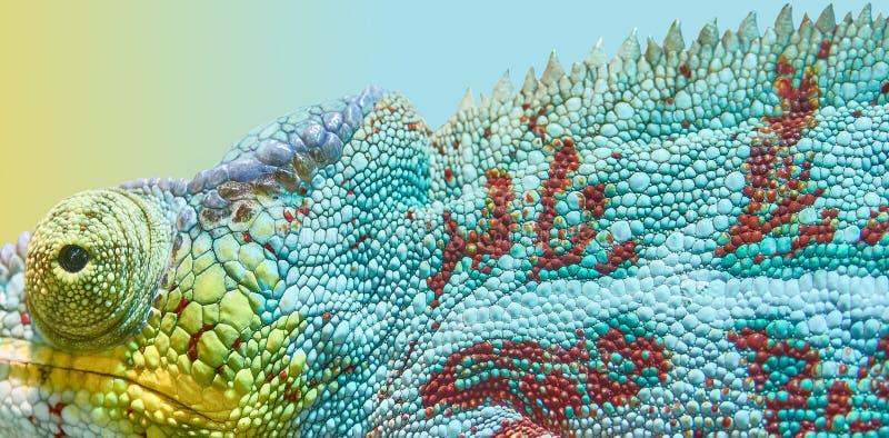 Animal chameleon, color game stock photography