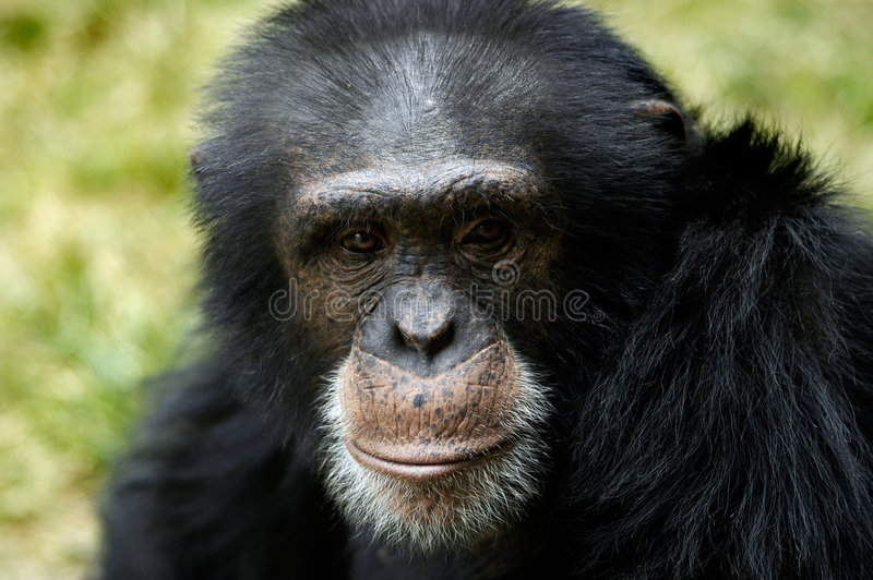 Animal - chimpanzé (troglodyte de carter) photographie stock libre de droits
