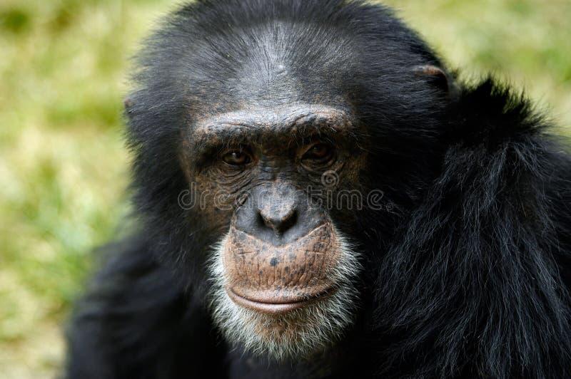 Animal - chimpanzé (troglodyte de carter) photographie stock libre de droits