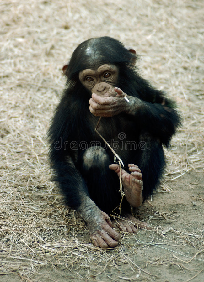 Animal - chimpanzee (pan troglodyte). A young chimpanzee (pan troglodyte) eats some straw/hay stock photos