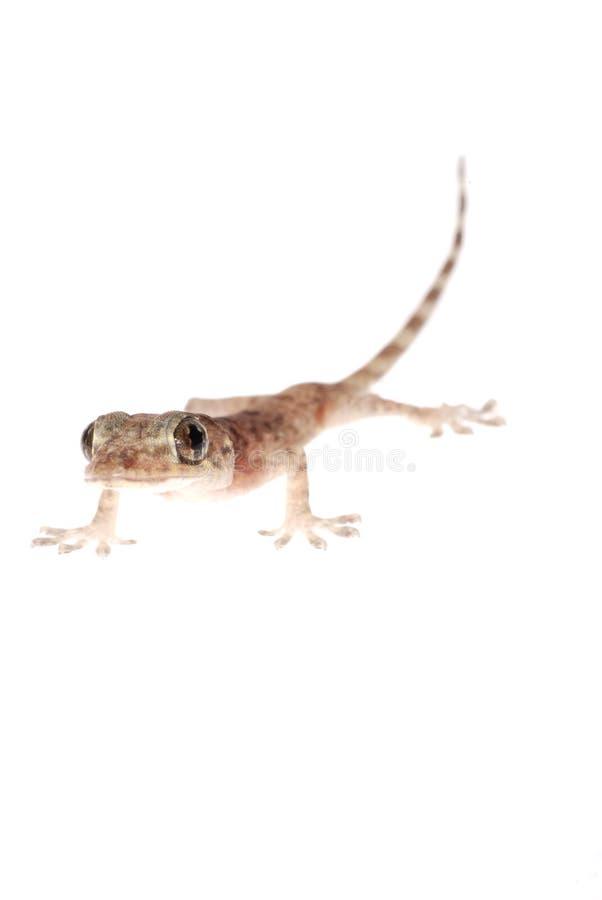Download Animal chinese gecko stock image. Image of dragon, animal - 15991565
