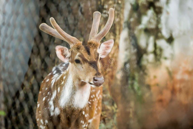 Animal: Chital Cheetal, cervo manchado, cervos da linha central é uma espécie de nativo dos cervos ao subcontinente indiano Os ch foto de stock royalty free