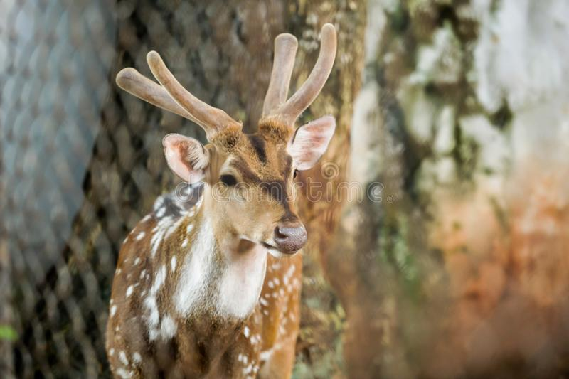 Animal: Chital Cheetal, Spotted deer, Axis deer is a species of deer native to Indian subcontinent. Antlers are present only on royalty free stock photo
