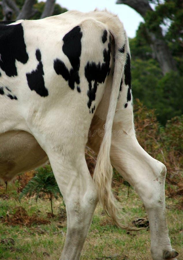 Animal - clochard de vache photographie stock