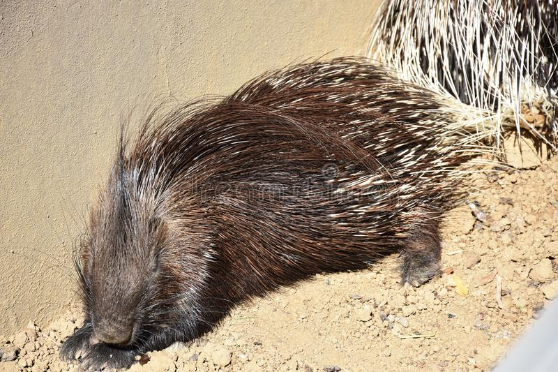 Animal close-up photography. Porcupine sleeping and heated in the sun. stock image