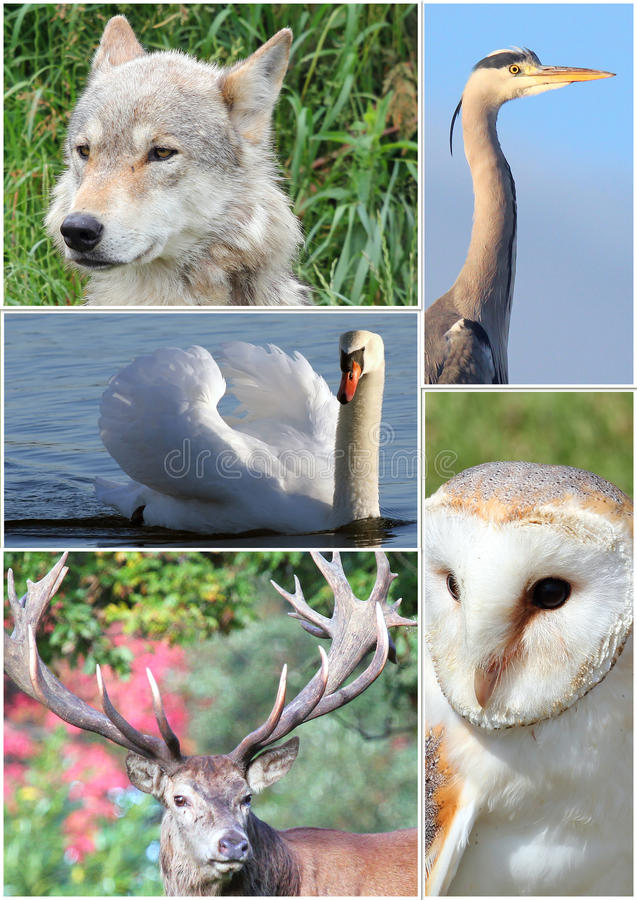 Free Animal Collage. Royalty Free Stock Photography - 36170987