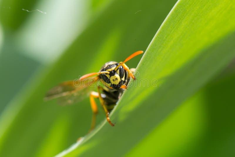 Animal, contrôle, danger, jour, mouche, jardin, insecte, macro, nature, éclat, piqûre, été, venin, guêpe, faune, jaune photo stock