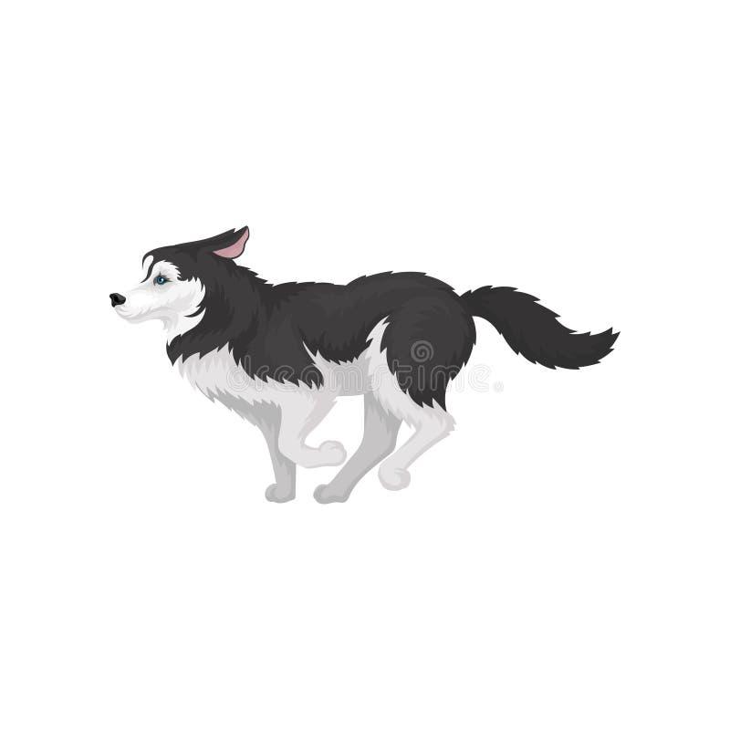 Animal correndo, branco e preto ronco Siberian do cão do puro-sangue com ilustração do vetor dos olhos azuis em um fundo branco ilustração do vetor