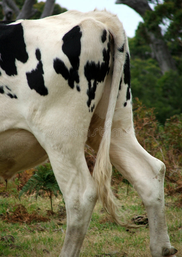 Download Animal - Cow Stock Photography - Image: 186962