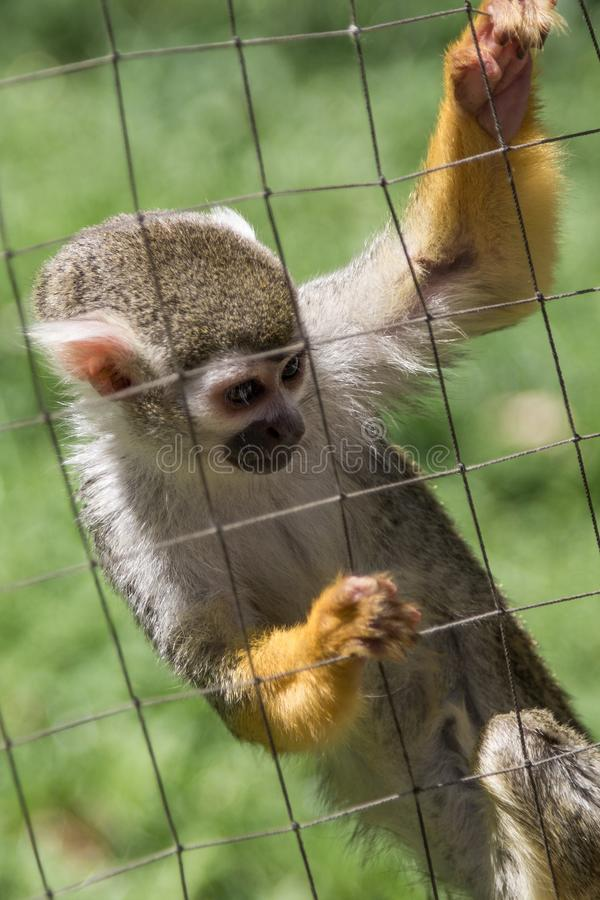 Common squirrel monkey behind cage at zoo. Common squirrel - Saimiri sciureus - monkey at zoo creeping up its cage wire guard hoping for some kindness or food royalty free stock photos