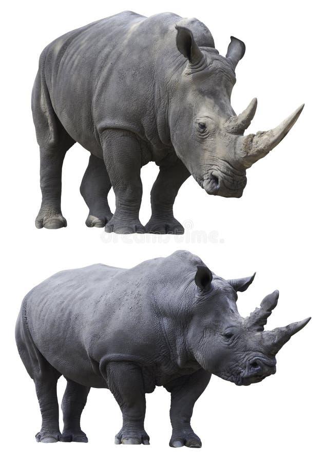 Animal d'isolement par rhinocéros blanc de rhinocéros photographie stock