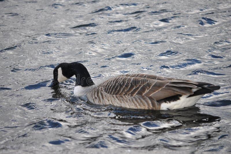 Animal d'oiseau d'oie du Canada (canadensis de Branta) photographie stock libre de droits