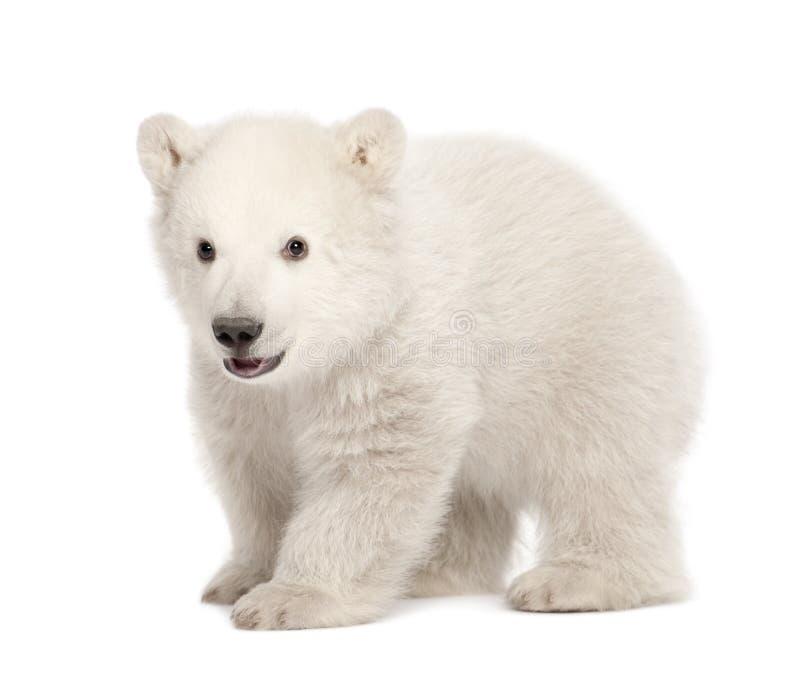 Animal d'ours blanc, maritimus d'Ursus, 3 mois image stock