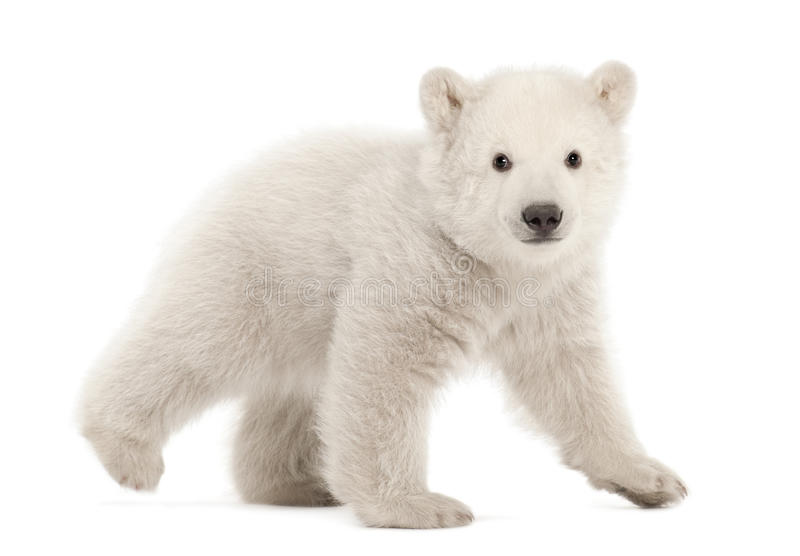 Animal d'ours blanc, maritimus d'Ursus, 3 mois photos stock