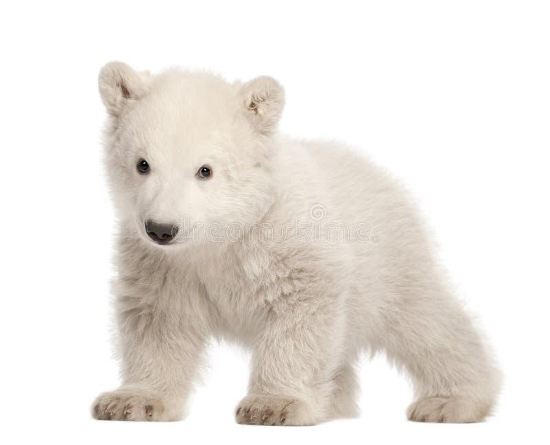 Animal d'ours blanc, maritimus d'Ursus, 3 mois image libre de droits