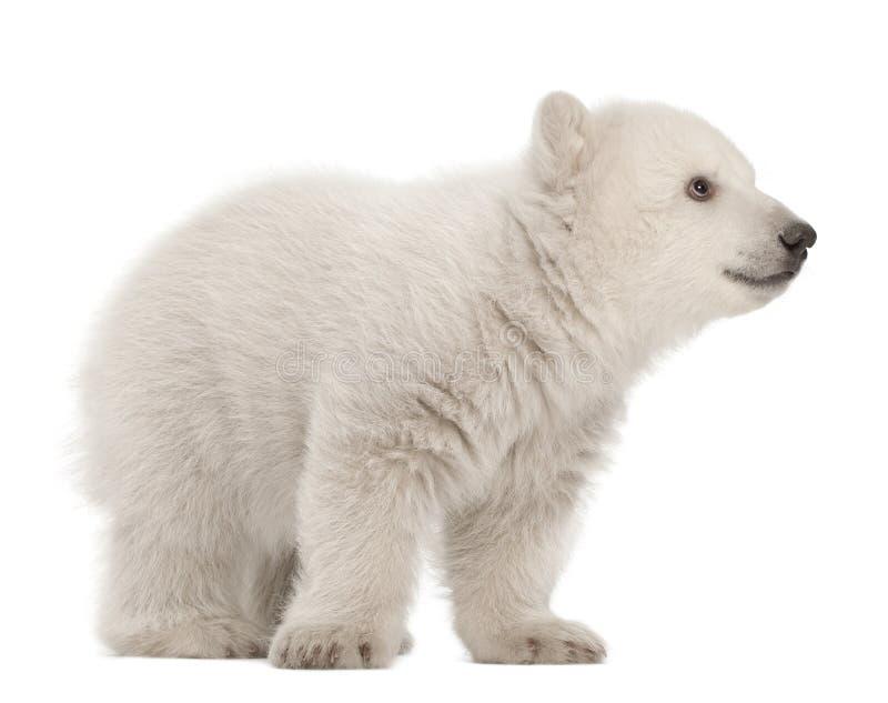 Animal d'ours blanc, maritimus d'Ursus, 3 mois photo libre de droits
