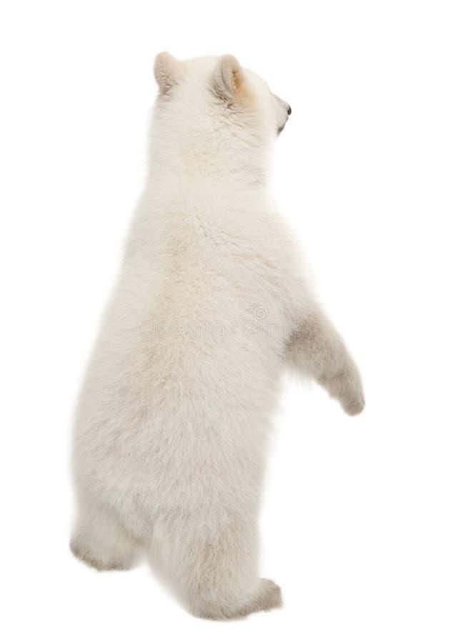 Animal d'ours blanc, maritimus d'Ursus, 6 mois photos stock