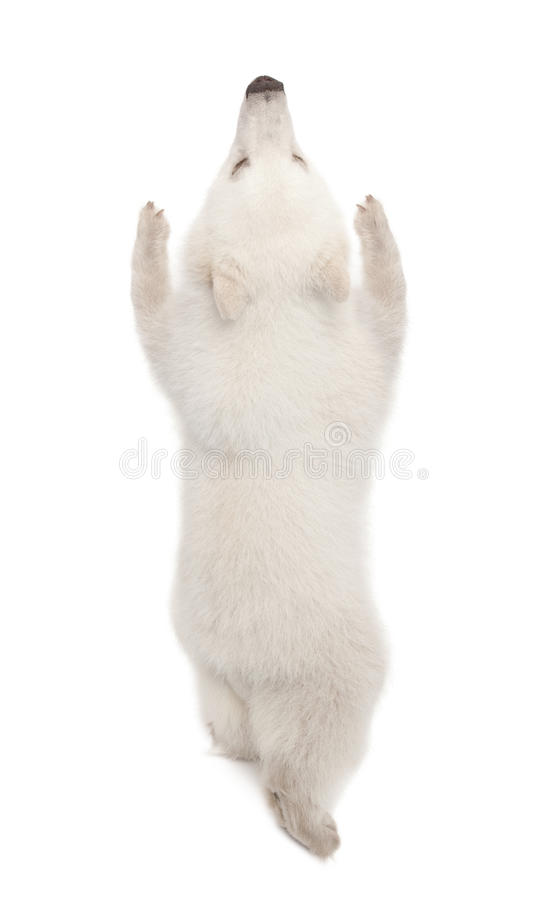 Animal d'ours blanc, maritimus d'Ursus, 6 mois photo stock