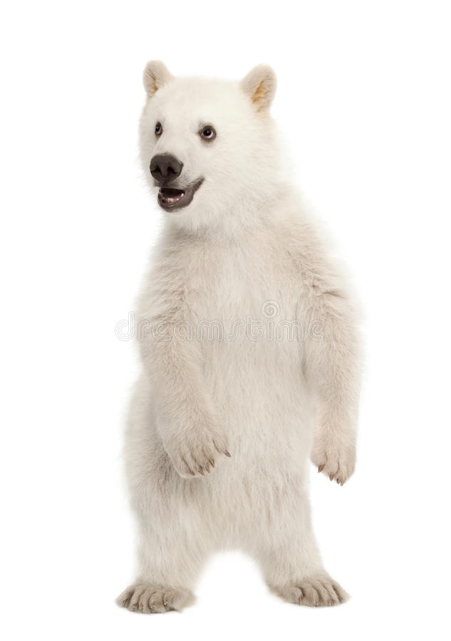 Animal d'ours blanc, maritimus d'Ursus, 6 mois image libre de droits