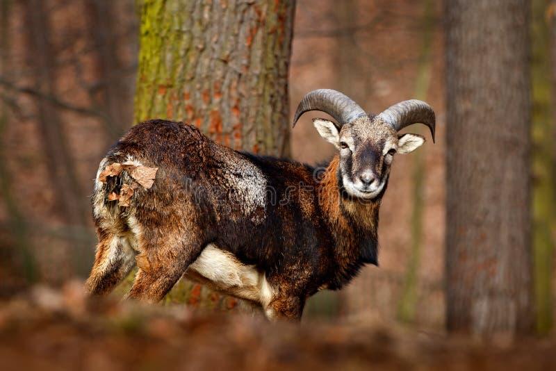 Animal da floresta no habitat Mouflon, orientalis do Ovis, animal horned no habitat da natureza, retrato da floresta do mamífero  imagens de stock