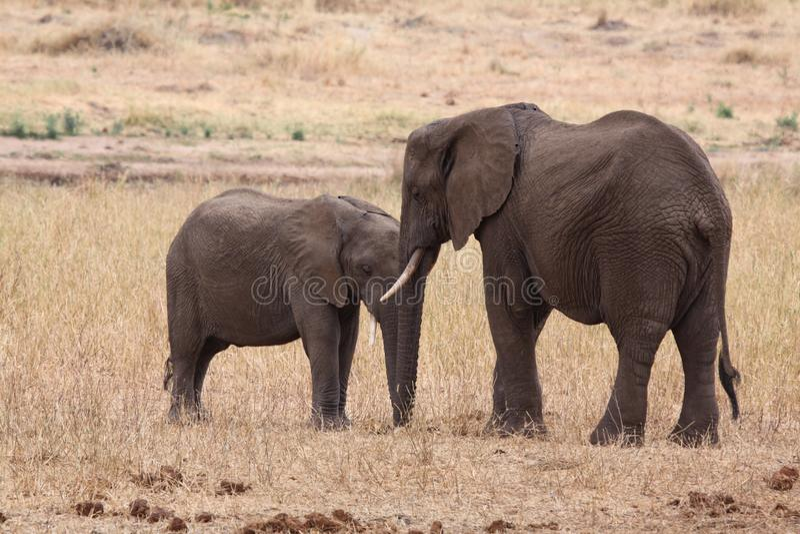 Animal de baiser images stock