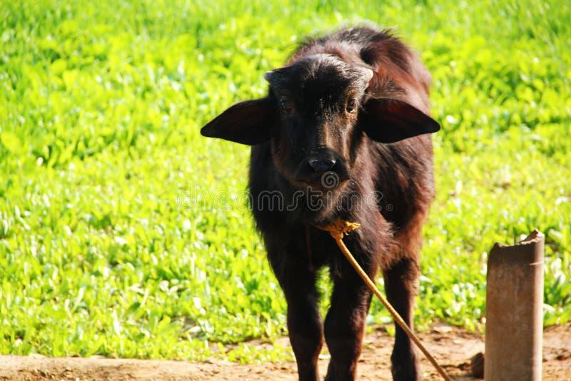 Animal de Buffalo de bébé de veau semblant étroit  photographie stock libre de droits