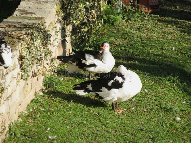 Animal de canard des oiseaux d'Aves de classe photos libres de droits
