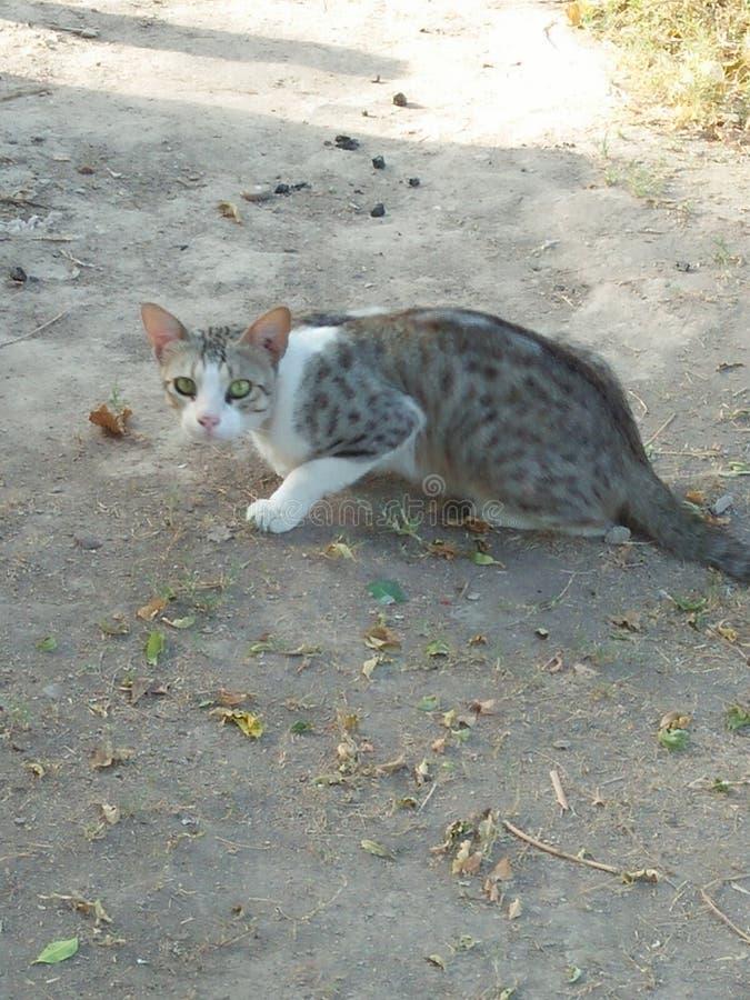 ANIMAL DE CAT, DURÉE 2 À 6 ANS images stock