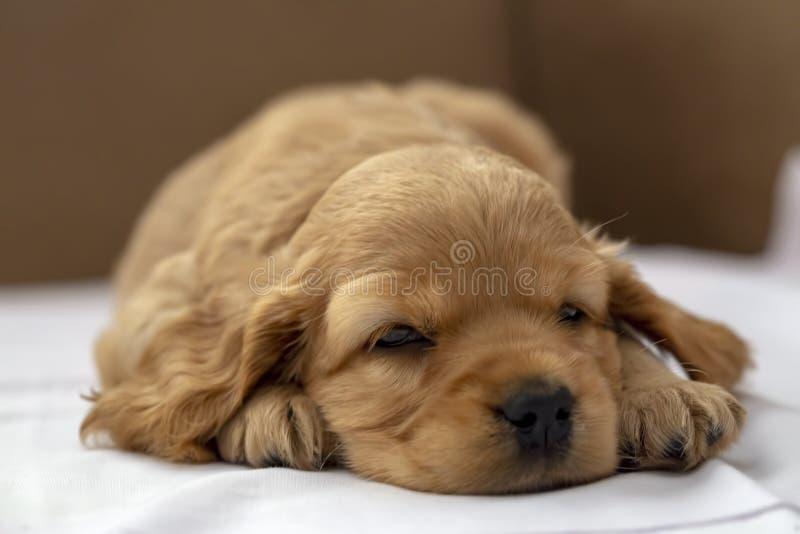 Animal de animal doméstico; El dormir inglés del perrito de Cocker Spaniel interior fotos de archivo