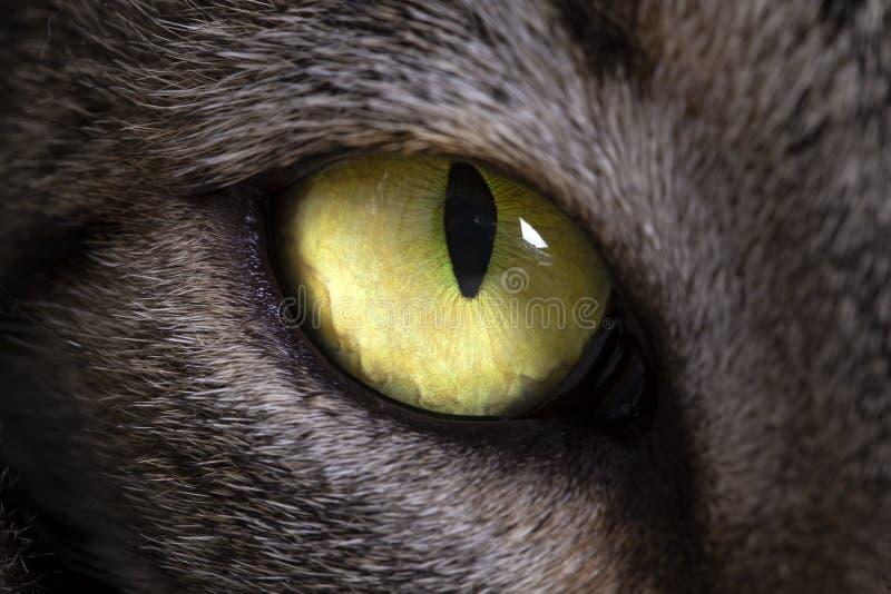 Animal de animal doméstico; foto macra del ojo verde del gato de gato atigrado foto de archivo
